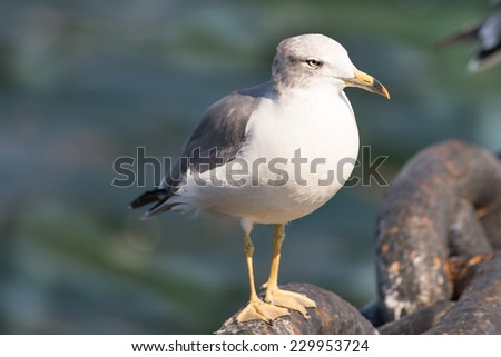 black tailed seagull bird on heavy iron chain isolated from water in japan. - stock photo