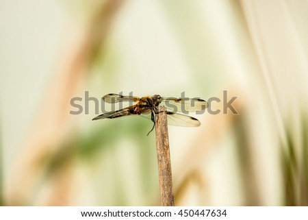 black-tailed skimmer, Orthetrum cancellatum,  European dragonfly  - stock photo