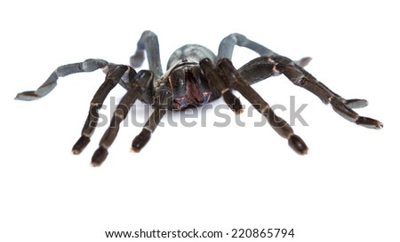 black tarantula isolated on white background with Clipping Path.