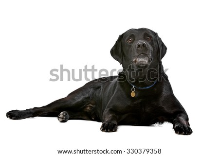 black ten years old Labrador in front of a white background