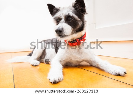 Black terrier dog sitting and resting at home on the floor looking thoughtful, wearing red collar - stock photo