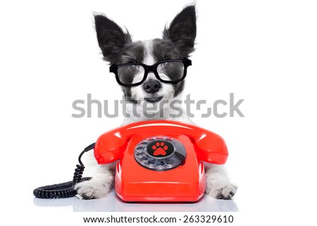 black terrier dog with  glasses as secretary or operator with red old  dial telephone or retro classic phone - stock photo