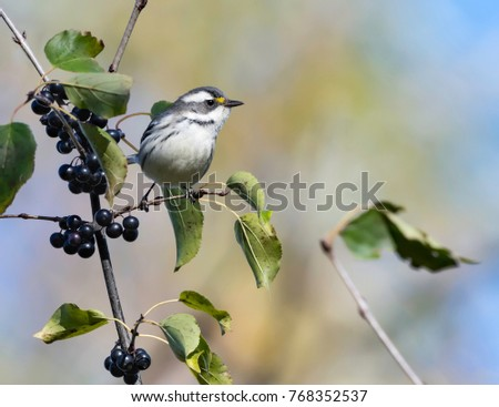 Black-throated Gray Warbler Perched on Branch with Black Berries