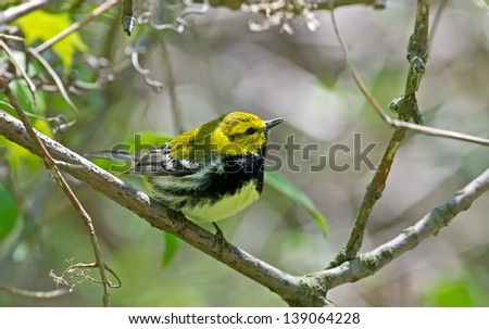 Black-throated Green Warblers are common and nest in a variety of mature coniferous and mixed woodlands especially among white pines and hemlocks.