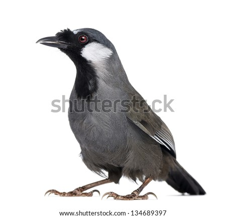 Black-throated Laughingthrush - Garrulax chinensis - isolated on white