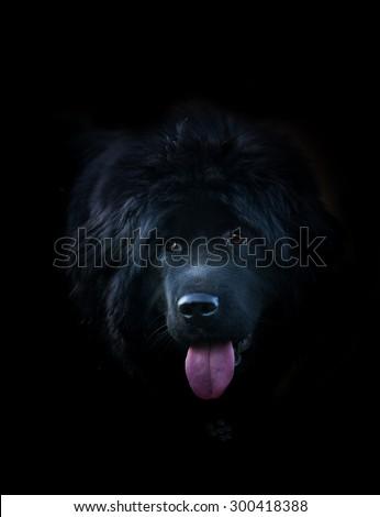 black tibetan mastiff over a black background - stock photo