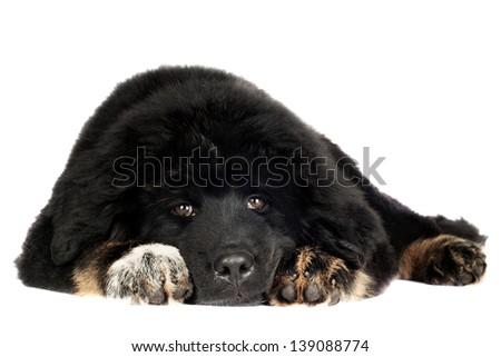Black Tibetan mastiff puppy - stock photo
