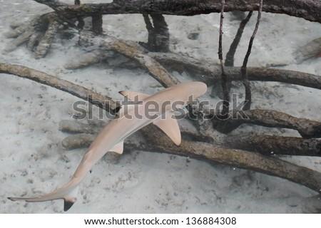 Black-tip reef shark in the mangroves. - stock photo