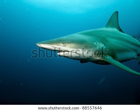 Black-tip shark (Carcharhinus limbatus) - stock photo