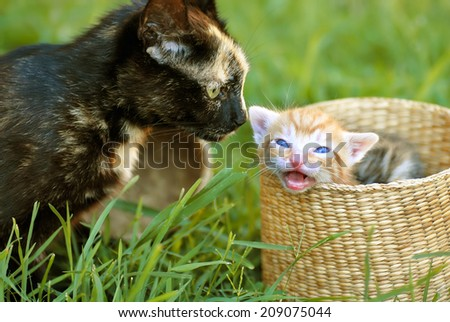 black tortoiseshell cat mother and her orange baby kitten peeking from basket closeup - stock photo