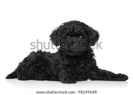 Black Toy poodle puppy lying on a white background - stock photo