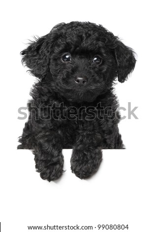 Black Toy poodle puppy on white banner. Isolated on a white background - stock photo