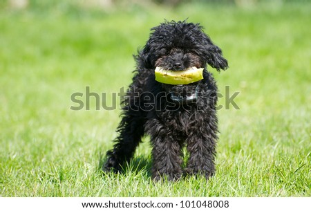 Black  toy poodle puppy with a piece of watermelon in the Spring. - stock photo