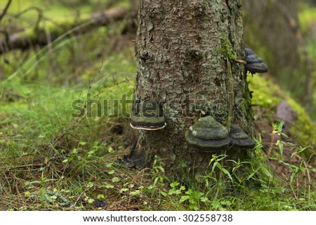 Black tree fungus on conifer trunk. - stock photo