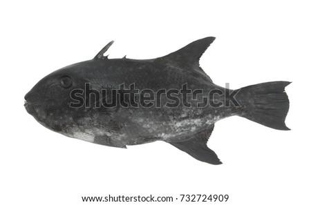 stock-photo-black-triggerfish-isolated-7