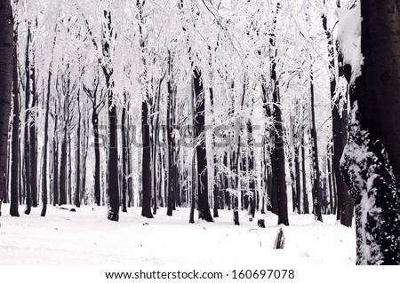 Black trunks of trees and snow on branches. Winter forest. - stock photo