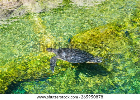 Black Turtle Swimming in a Pond - stock photo