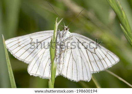 Black-veined Moth / Siona lineata  - stock photo