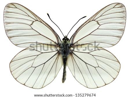 Black-veined White (Aporia crataegi) isolated on white background - stock photo