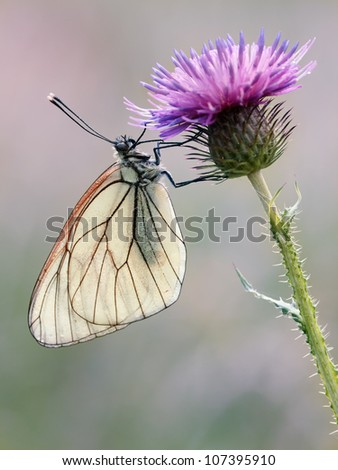 Black - Veined White Butterfly (Aporia crataegi) with soft light and a smooth background