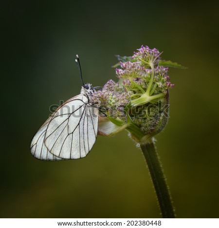 Black Veined White early in the morning - stock photo