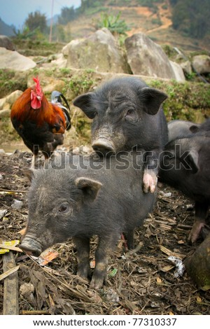 Black vietnamese pigs in the village, Sapa, Vietnam