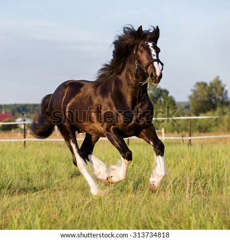 Black Vladimir draft horse runs gallop on the pasture