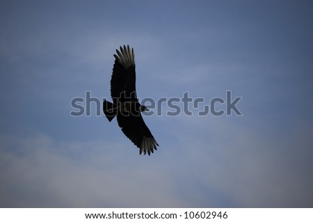 Black Vulture Flying at Everglades National Park - stock photo