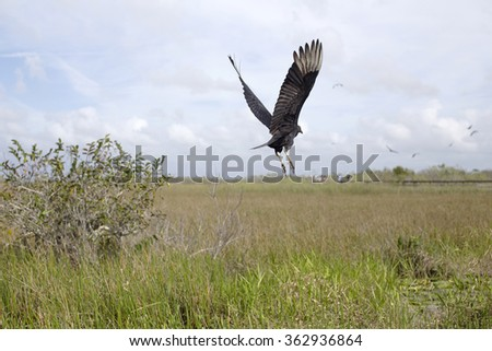 Black vulture flying over the marsh in Everglades National Park. Selective focus - stock photo