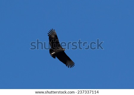 Black Vulture in flight - stock photo