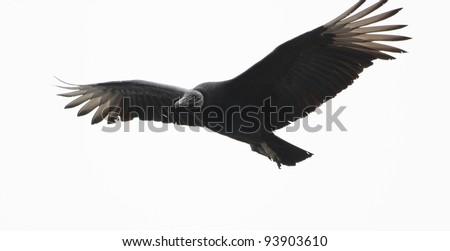Black vulture preparing to land. - stock photo