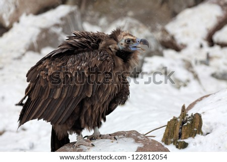 black vultures - stock photo