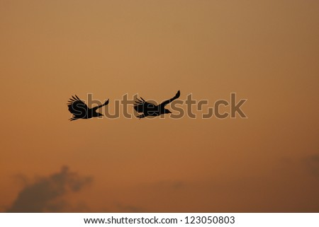 Black Vultures (Coragyps atratus) flying at sunset