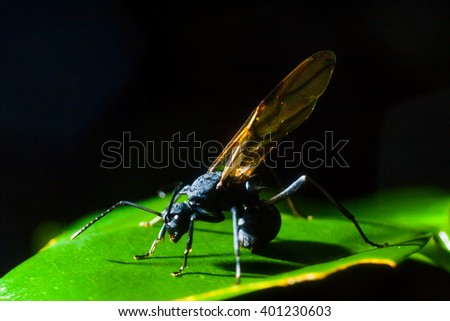 Black Wasp perched on the under side of a plant leaf.