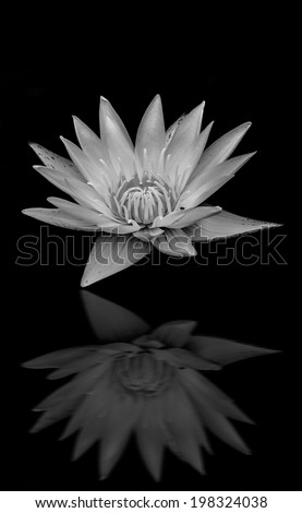 Black-whit lotus, lily flower blooming on pond reflect on black background ,indicate Buddhism or faith or sad or funeral - stock photo