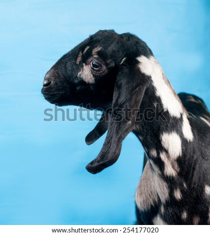 Black, white and red Nubian lamb on blue background - stock photo