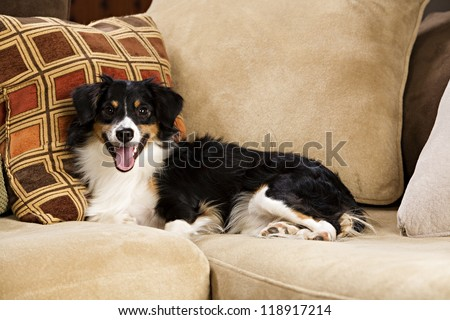 Black, white and tan dog lying on couch