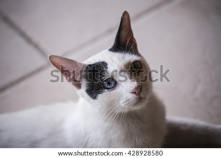 black white cat sad. Black and white cat owner asks for food, looks plaintively. Cat eyes in different colors - stock photo