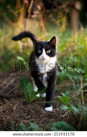 Black white cat walking in the garden on the sunset looking at you - stock photo
