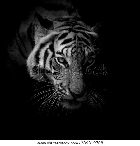 black & white close up face tiger isolated on black background - stock photo