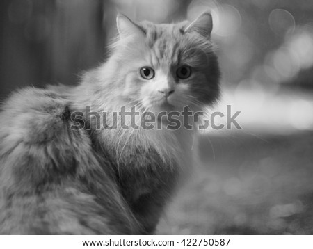 Black & White Full Body Shallow Depth of Field Portrait of Exotic Long Haired Bi Color Traditional Doll Face Persian Cat Sitting Outdoors