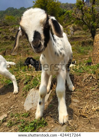 Black & white goat in small village, baby goat, farm animal goat, rustic farm landscape, lovely funny baby goat, fluffy kid goat, white animal goat background, domestic baby animal goat, village Nepal - stock photo