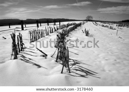 black & white photograph of a winter cornfield
