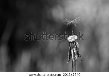 Black & white single fragile seed on top of s dandelion stem