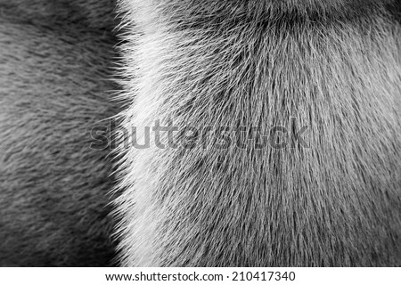 black-white texture of fur of wild animals with a strip for abstract backgrounds - stock photo