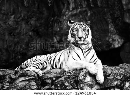 black&white tiger - stock photo