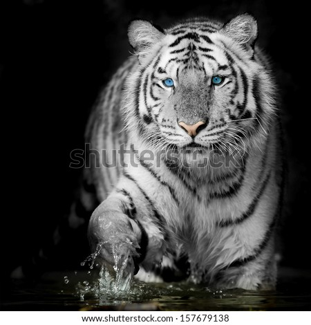 Black & White Tiger - stock photo