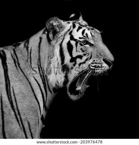 Black & White Tiger - stock photo