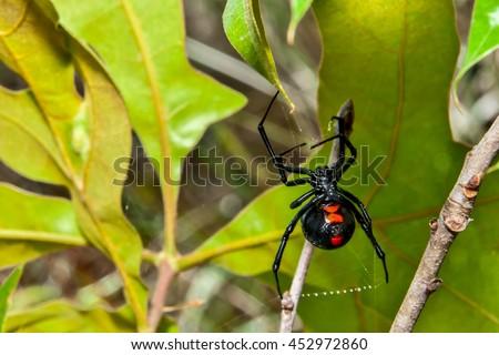 Black Widow Spider - stock photo
