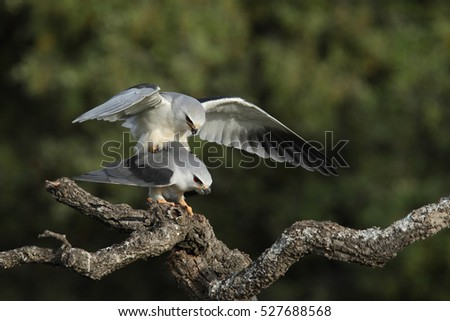 black winged kite - mating ritual